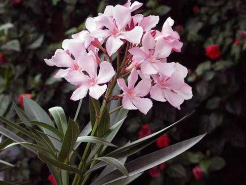 Лиандра цветок